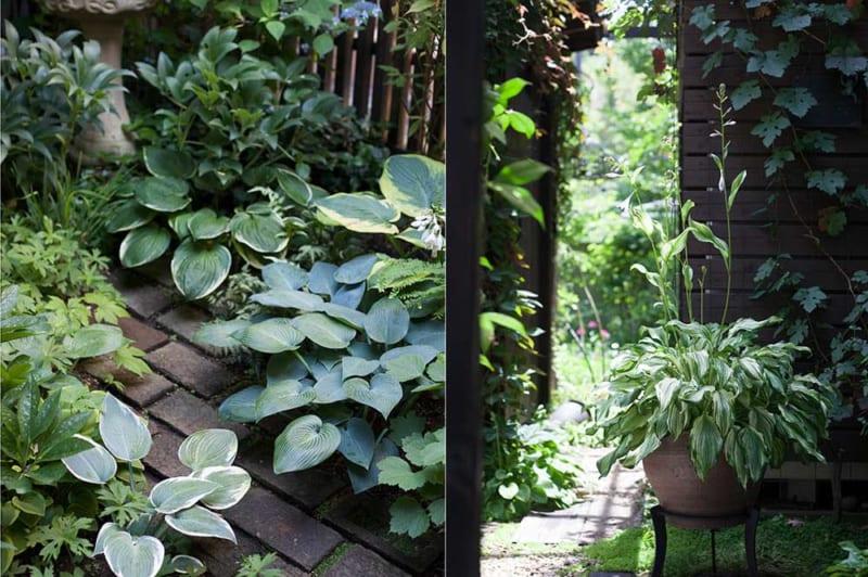 ギボウシ(ホスタ)の庭