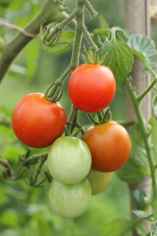 ミニトマト栽培は水やりのタイミングが大事!