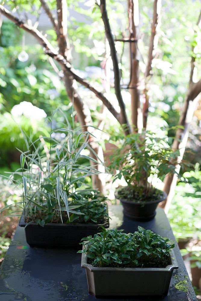 盆栽風の姫ギボウシ