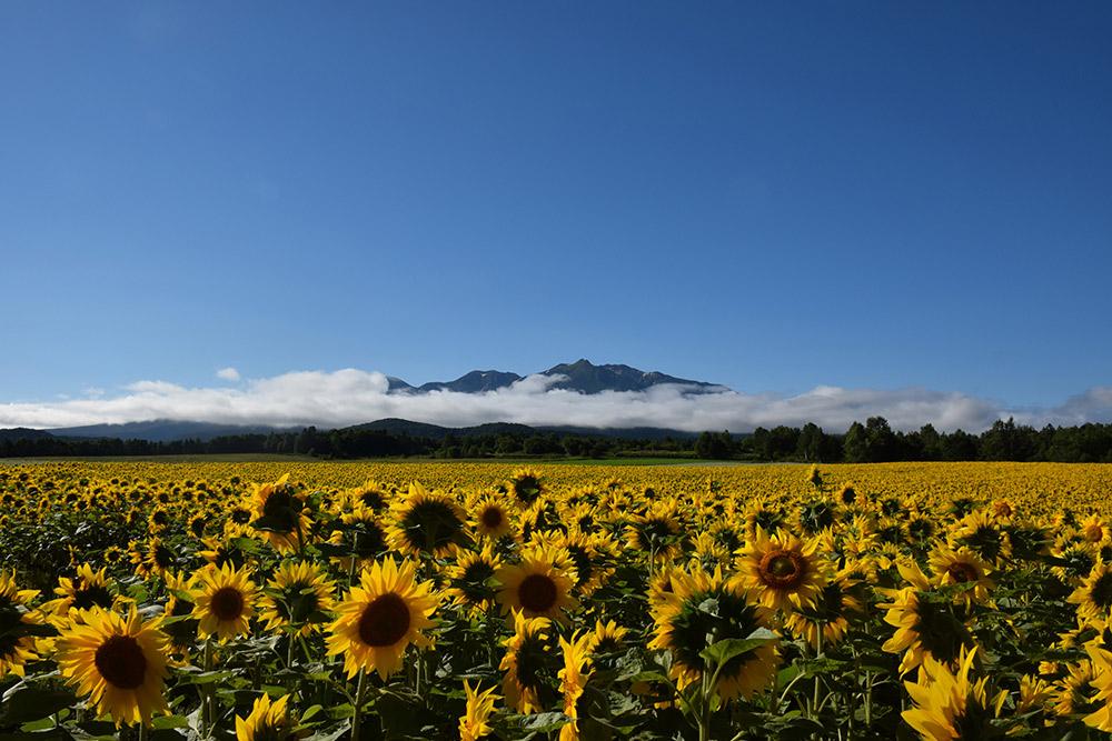 北海道のひまわり畑