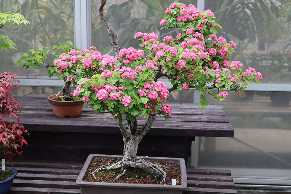 サンザシの盆栽