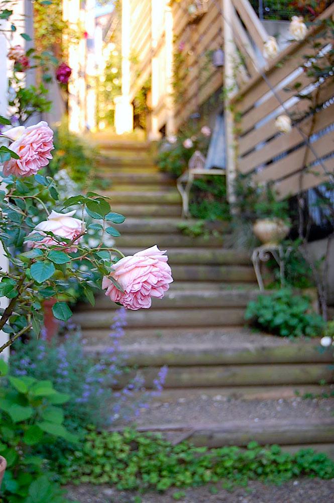 ガーデンに咲くバラ