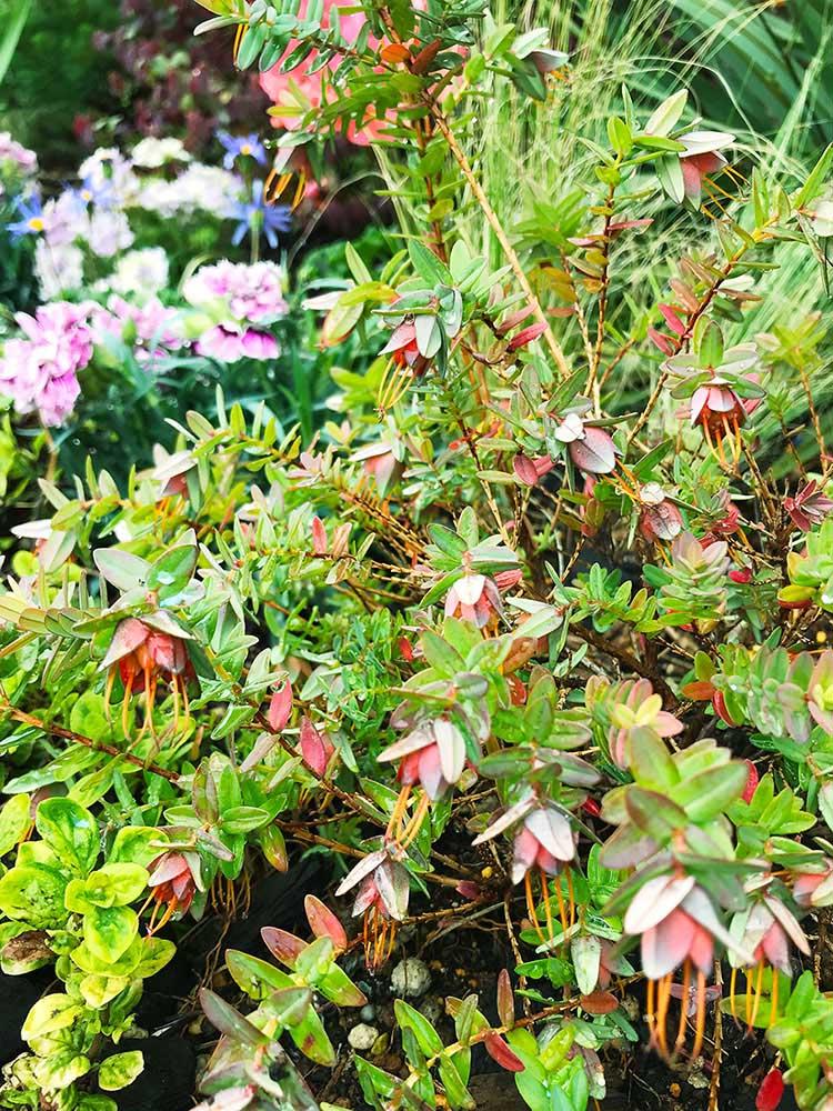 ダーウィニア・シトリオドラの花