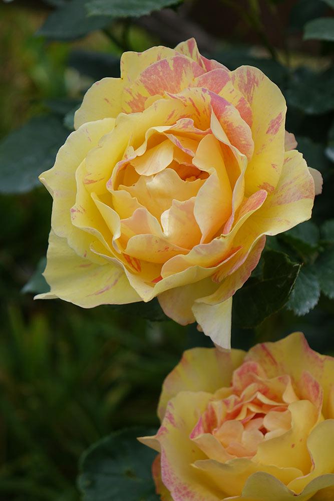 絞りのバラ'ポール・セザンヌ'