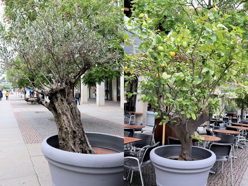 オリーブやレモンの鉢植え