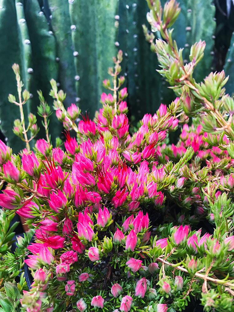 ダーウィニア・タクシフォリアの花