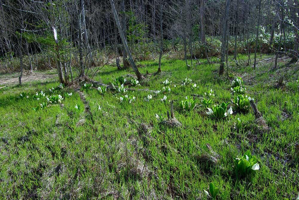 水芭蕉が咲く湿地