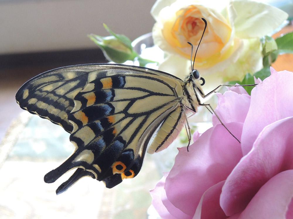 アゲハチョウとバラ