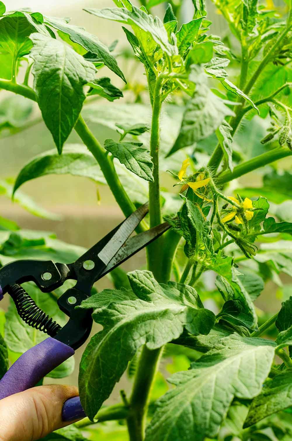 トマトの脇芽摘み