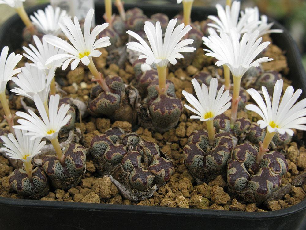 ペルシダム 変種テリカラーConophytum pellucidum var. terricolor