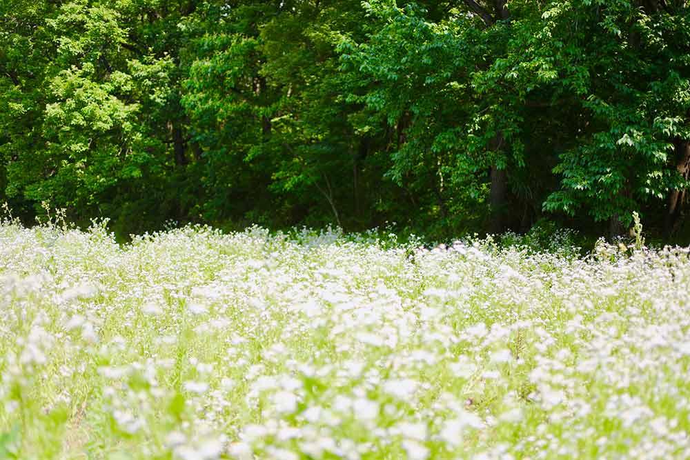 ヒメジョオンの草原