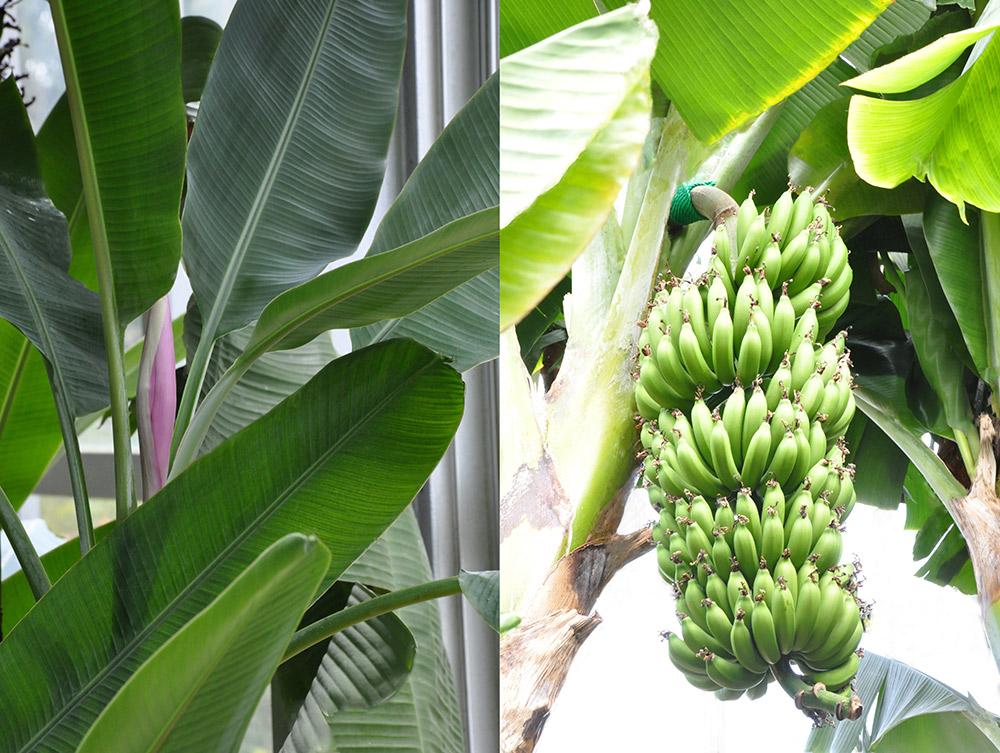 バナナの花と果実