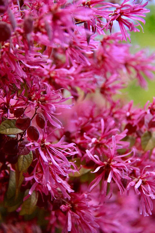 赤葉紅花トキワマンサクの花