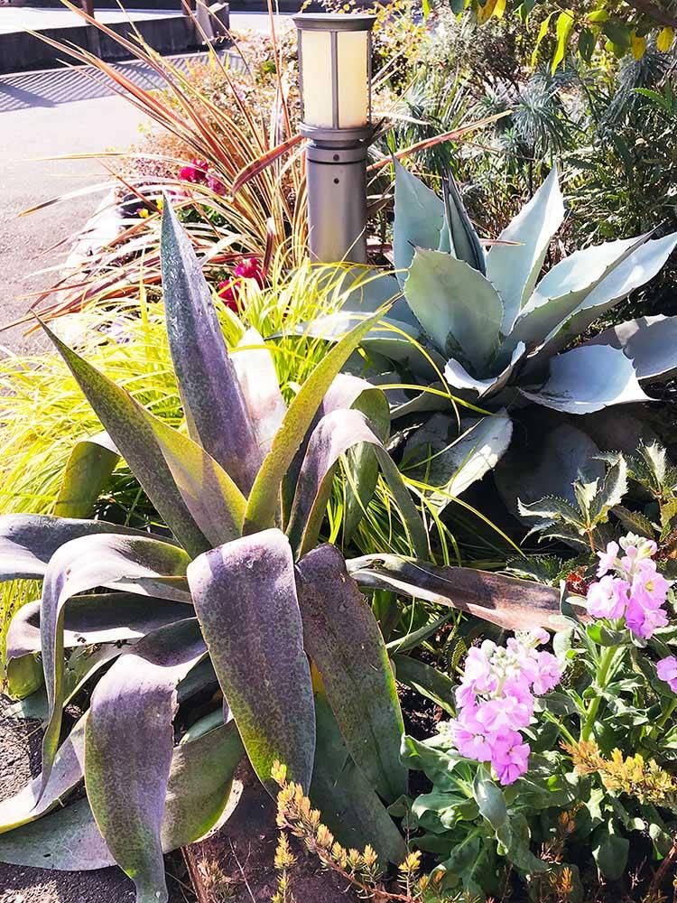 マンガベやアガベの植栽例