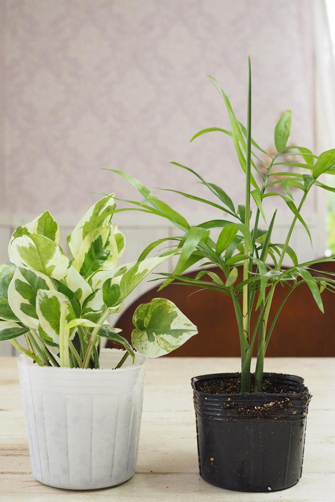 <代表的な観葉植物>ポトスとテーブルヤシ