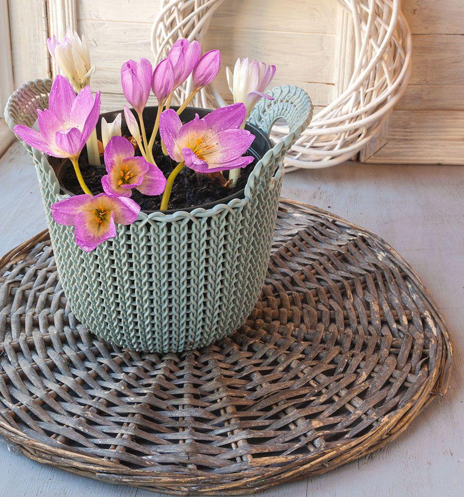 コルチカムの鉢植え