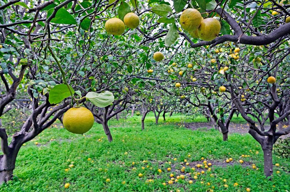 イタリアの柑橘園