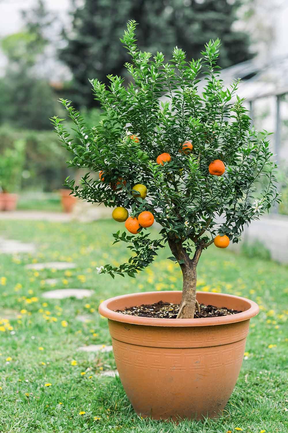 柑橘類の育て方