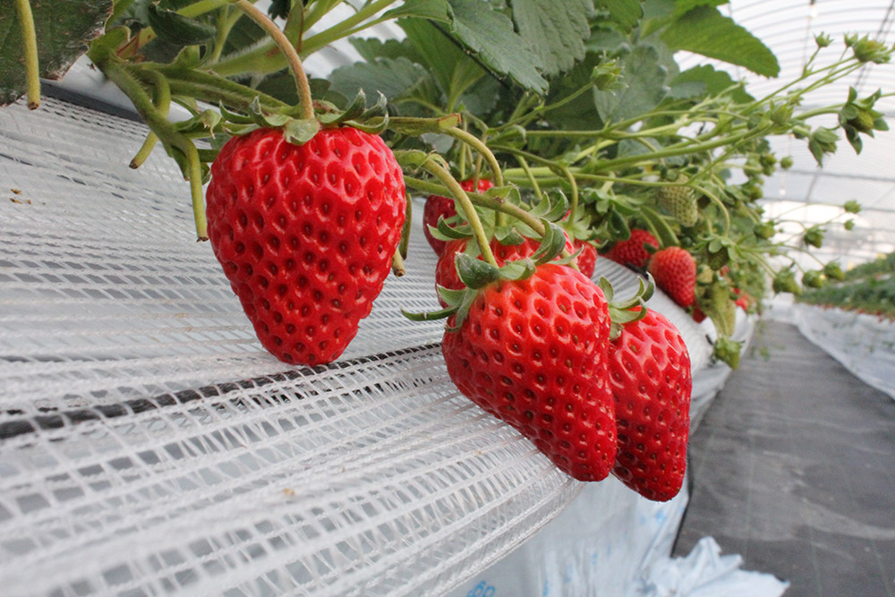 農園ガーデン空 イチゴ狩り