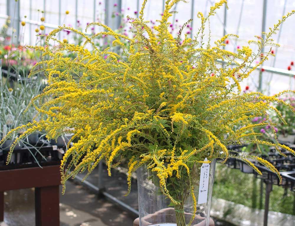 ソリダゴの切り花