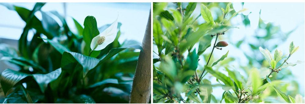 室内で花を咲かせるスパティフィラムとミラクルフルーツの実。
