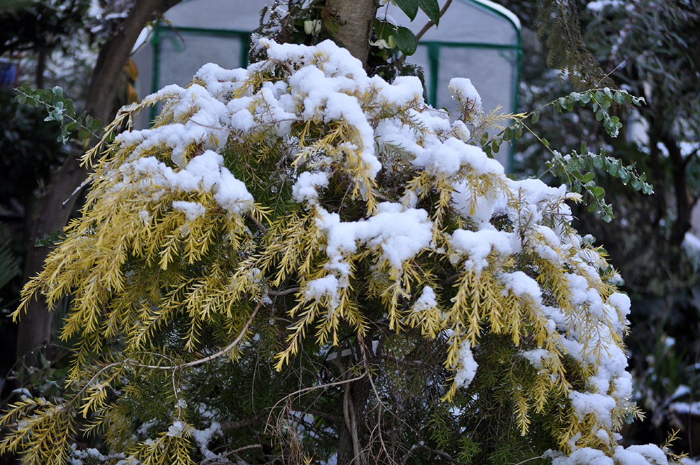 雪をかぶったメラレウカ'レボリューションゴールド'