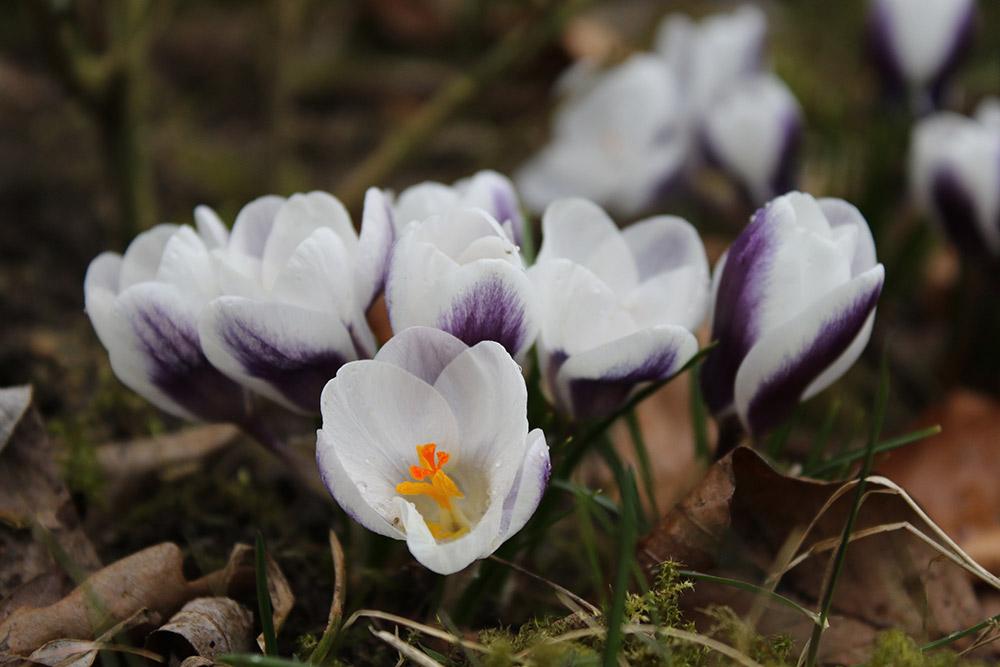 クロッカス・クリサンスス 'プリンス・クラウス' Crocus chrysanthus 'Prince Claus'
