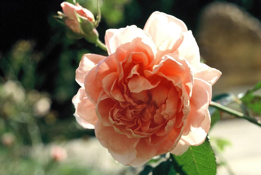 バラ'コレット'