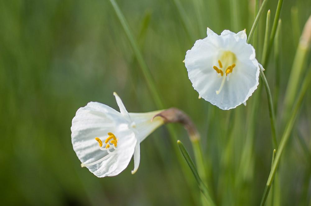 ナルキッスス・カンタブリクス・モノフィルス (Narcissus cantabricus subsp. monophyllus)