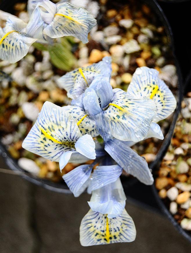 イリス・レティキュラータ 'キャサリンホジキン' Iris reticulata 'Katharine Hodgkin'