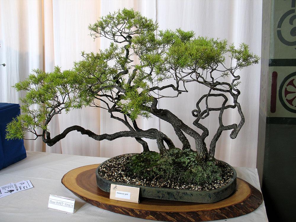 メラレウカの盆栽