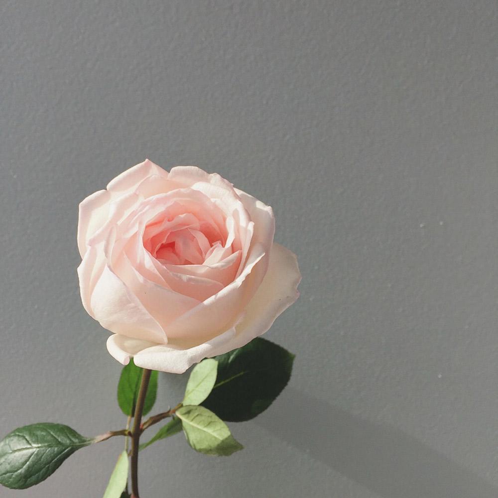 バラの新品種「24」と女性ホルモンの嬉しい関係