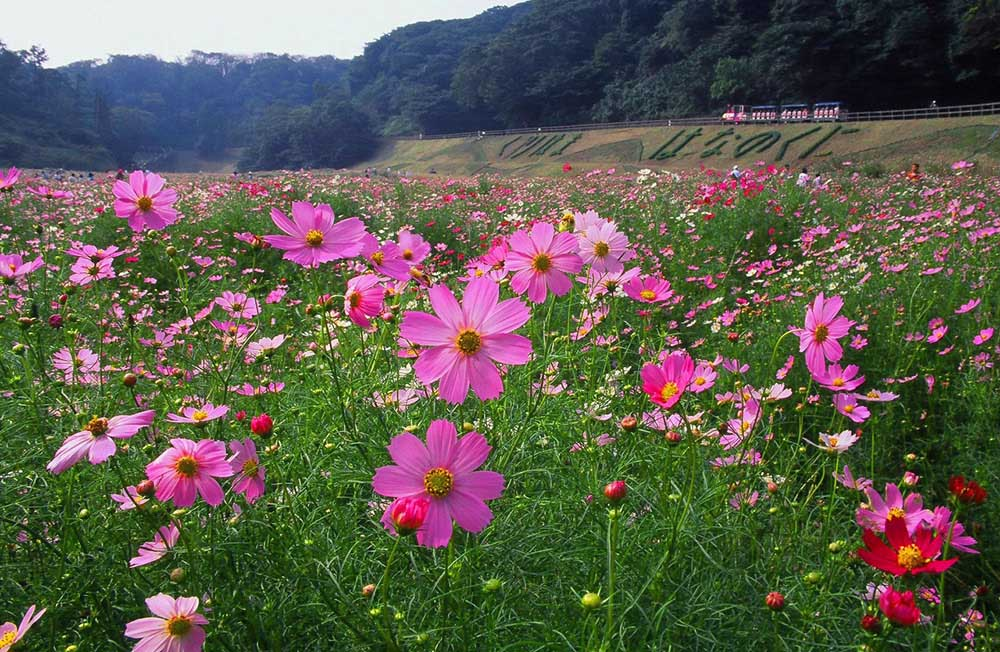 くりはま花の国 コスモス