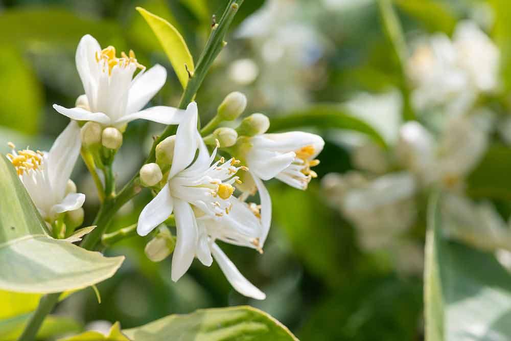 柑橘類の花