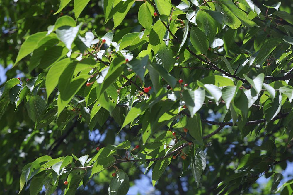 ハーブランドシーズンの山桜