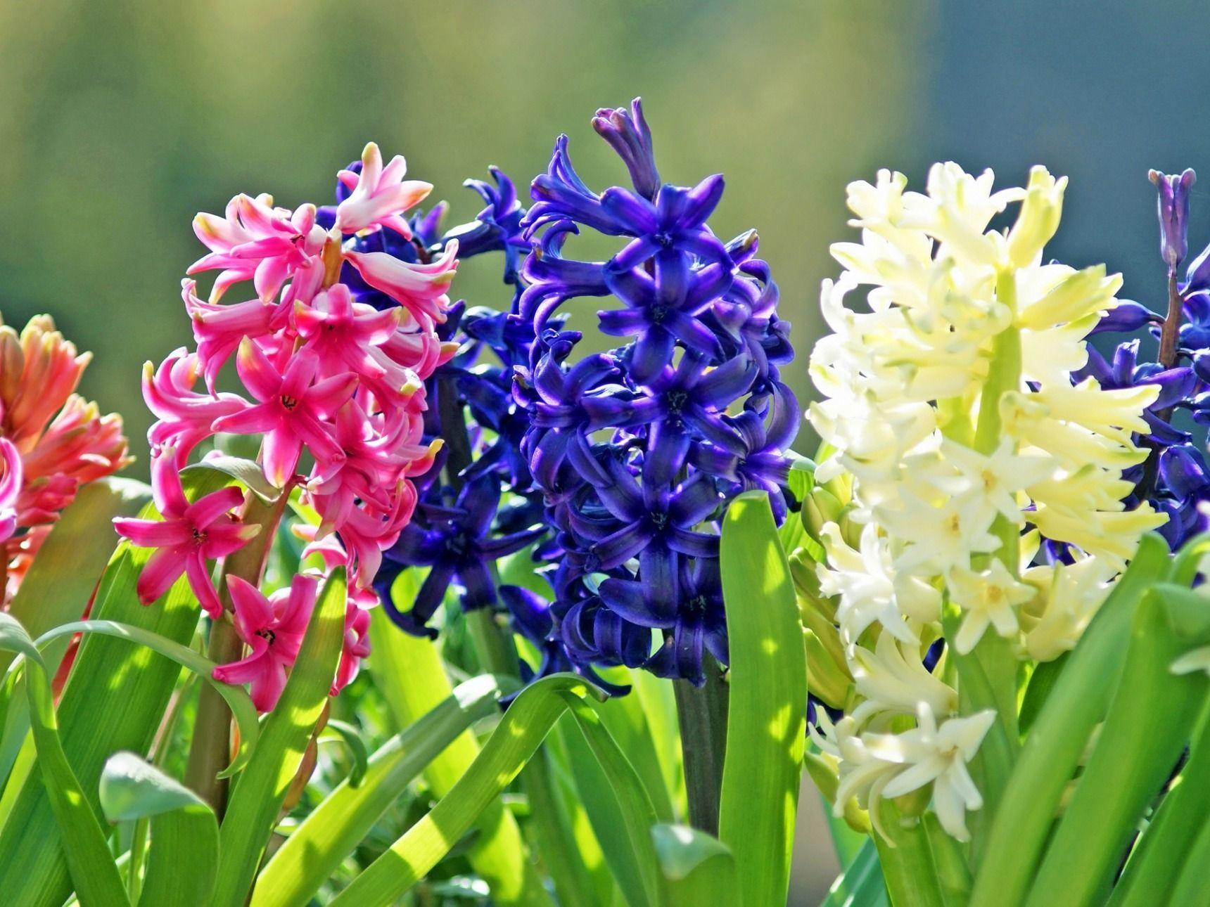 終わっ たら 花 が ヒヤシンス