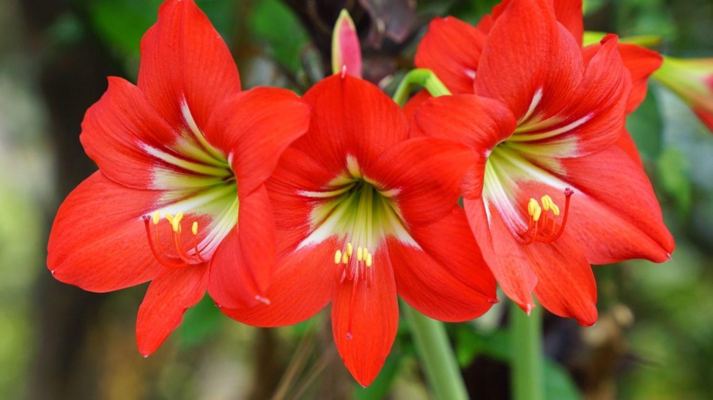 アマリリスの育て方。コツとお手入れ、植え替えや寄せ植えを一挙紹介します | GardenStory (ガーデンストーリー)