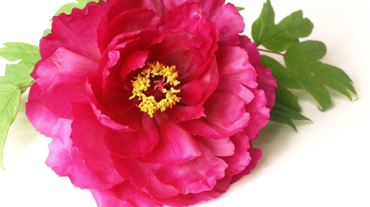 牡丹 花 言葉 ボタン,ぼたん(牡丹)の花言葉-花言葉事典