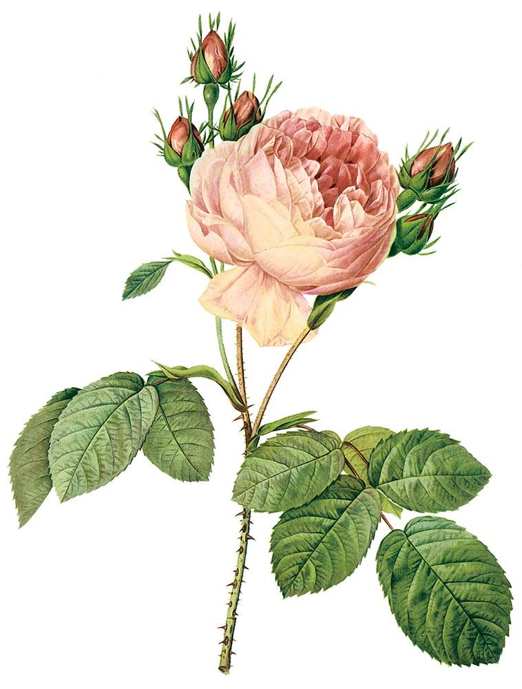 ルドゥーテが描いた'ロサ・ケンティフォリア