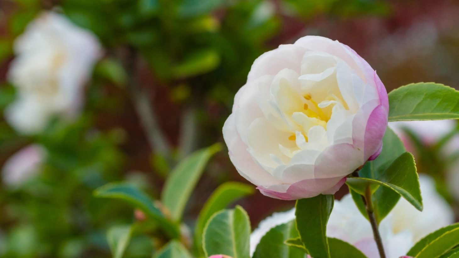 時期 椿 剪定 椿は11~5月が開花時期の庭木【剪定