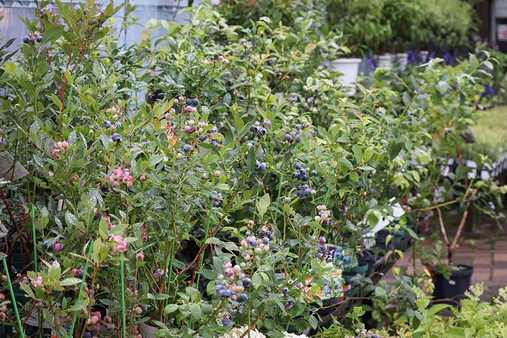 ガーデンガーデンのブルーベリー