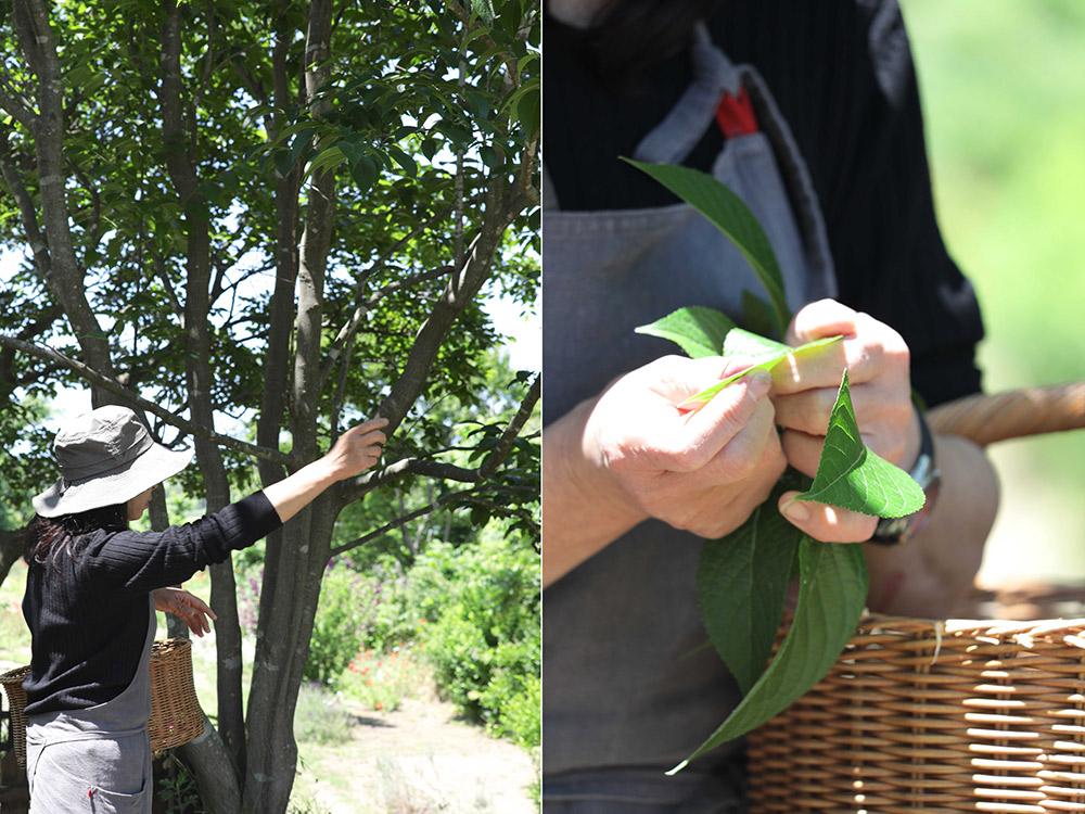 ハーブランドシーズンの杜仲の木
