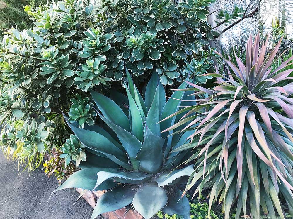 アガベの植栽
