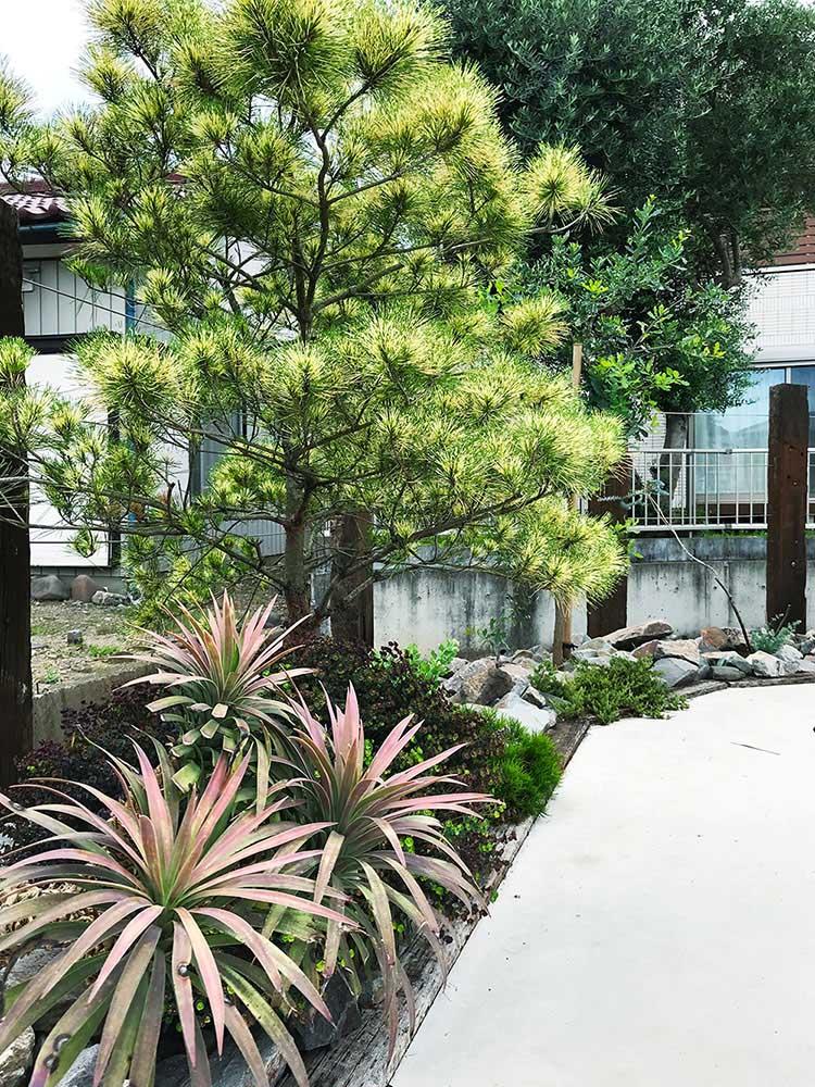 カラーリーフ常緑樹