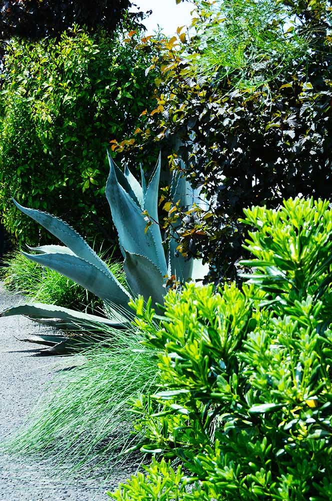アガベ 'シルバーサーファー'の植栽