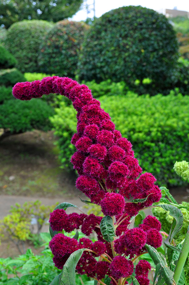 赤花のアマランサス