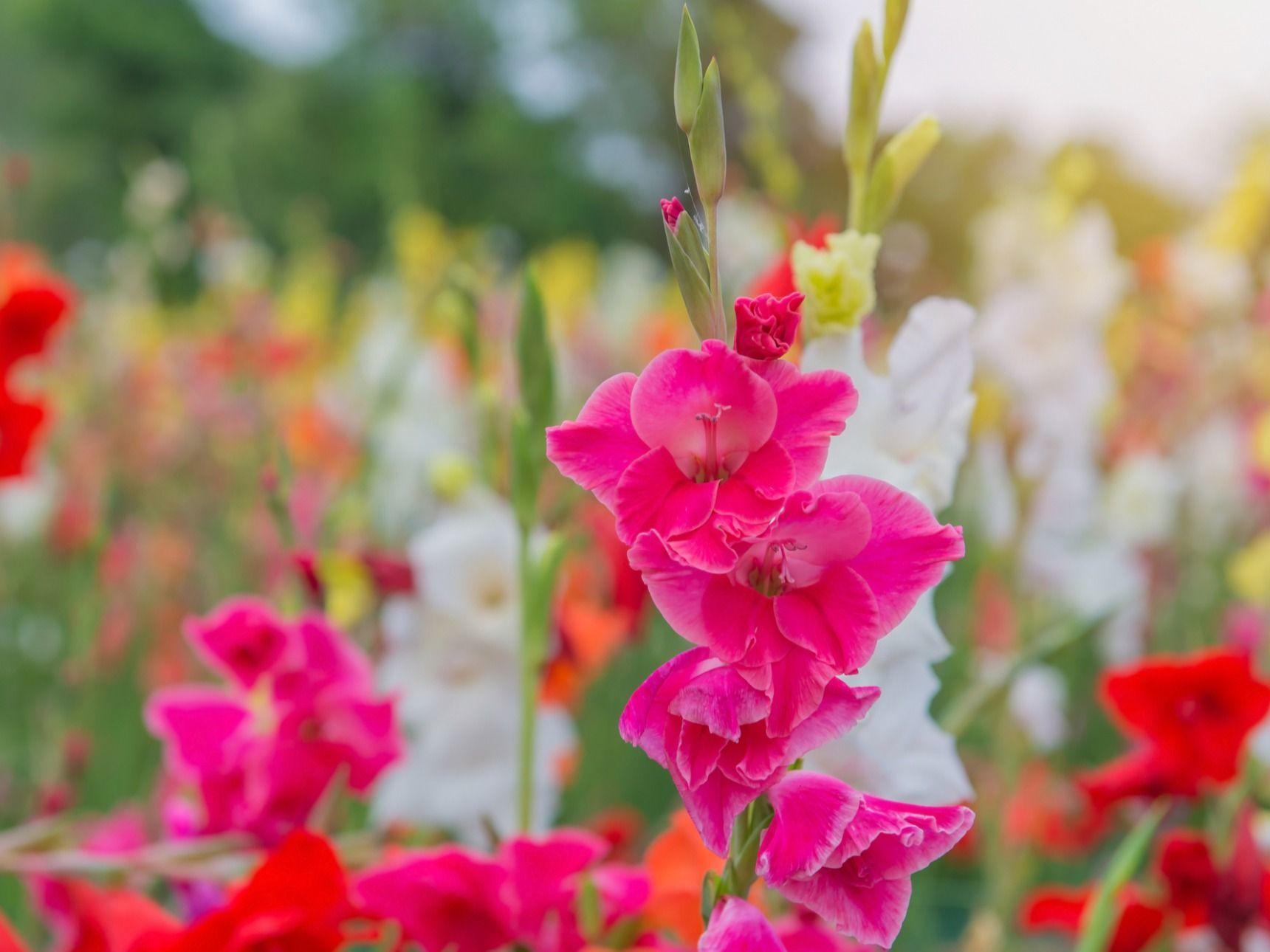 グラジオラスの育て方。コツとお手入れ、植え替えや寄せ植えを一挙紹介 ...
