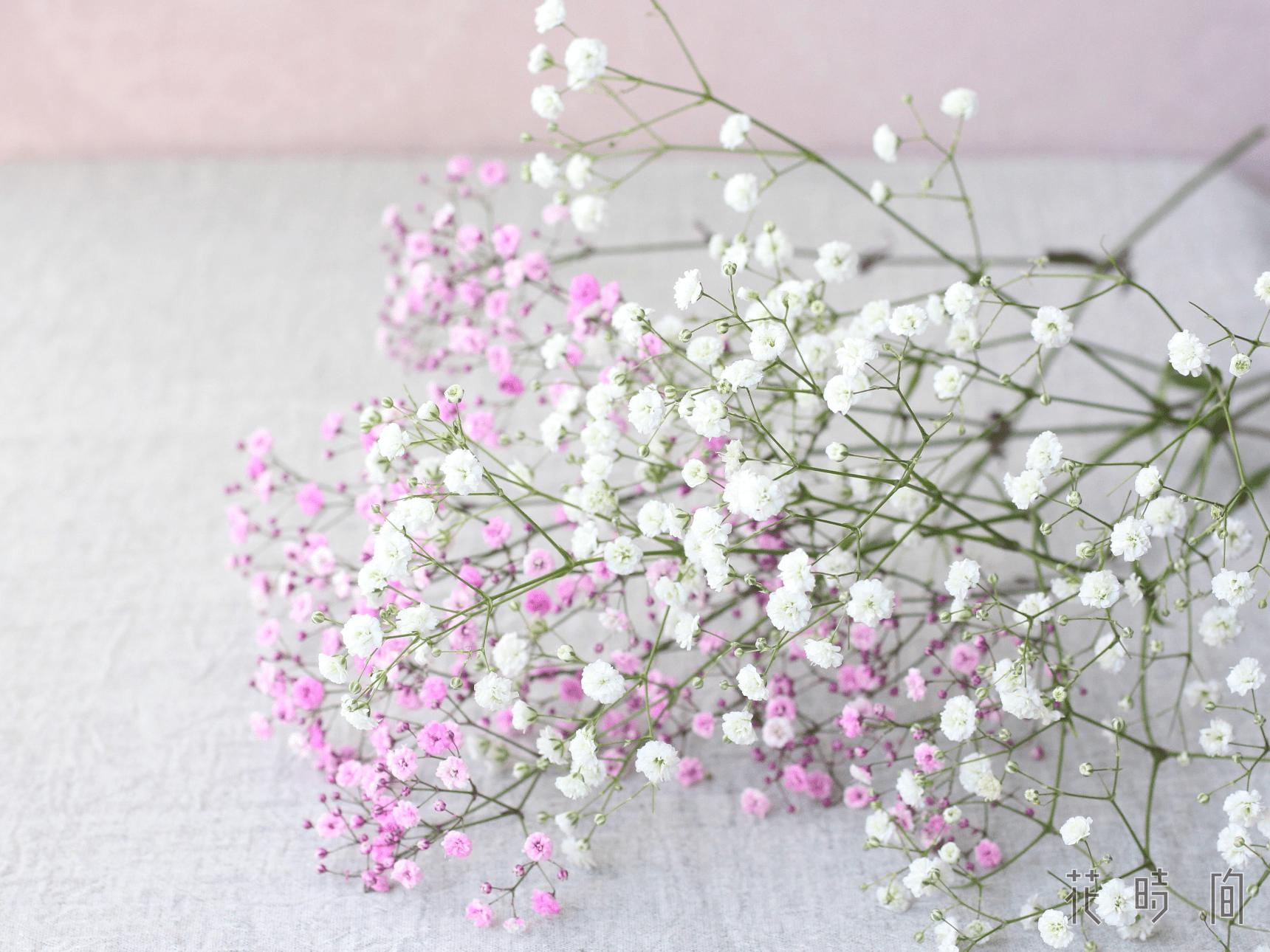 清楚な花 カスミソウの花言葉や花名の由来 英語名を紹介します