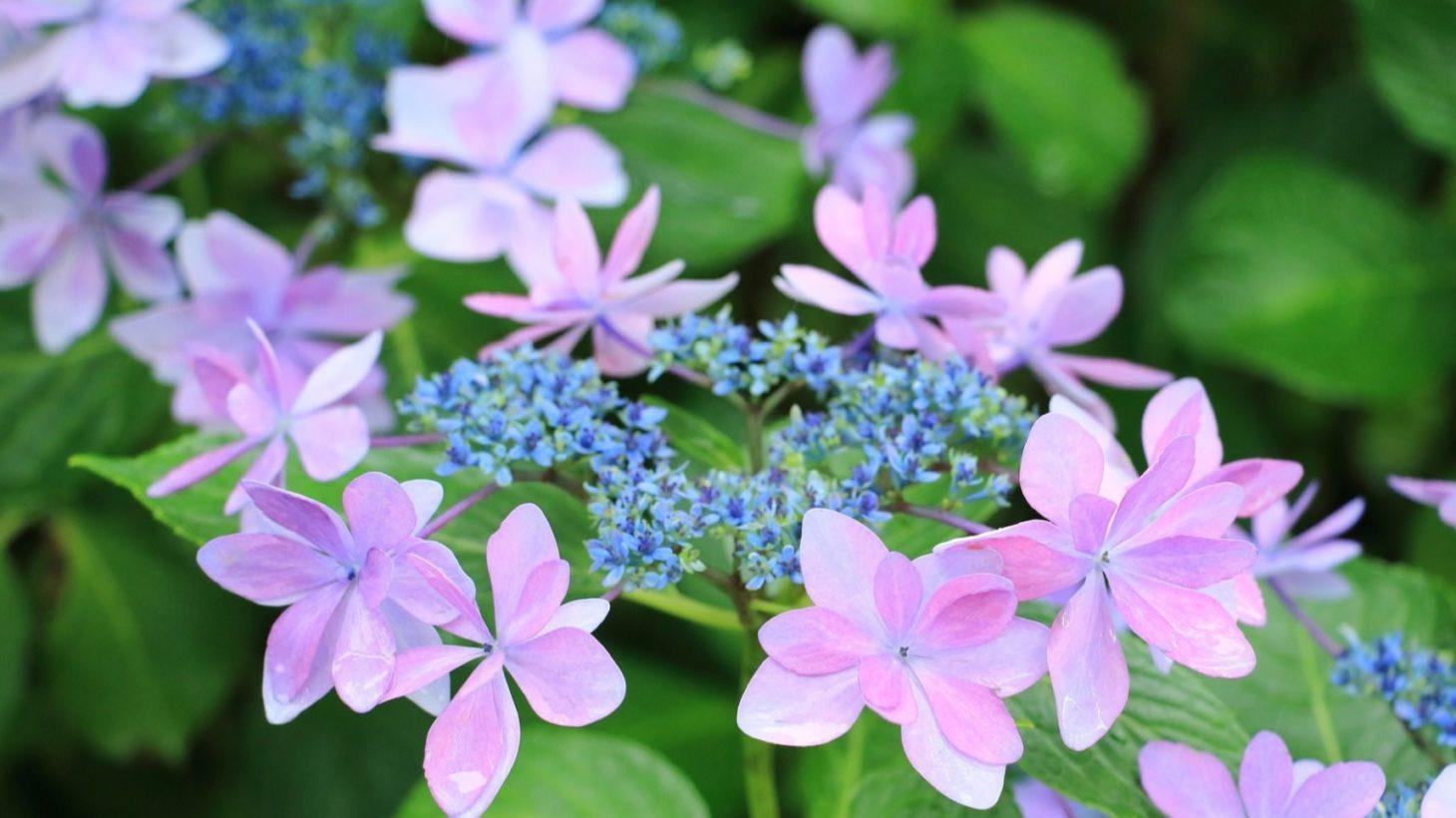 紫陽花 の 育て 方 鉢植え