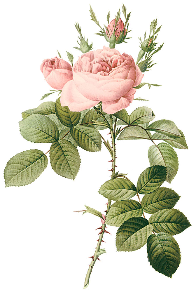 ルドゥーテの描いた'ロサ・ビフェラ'